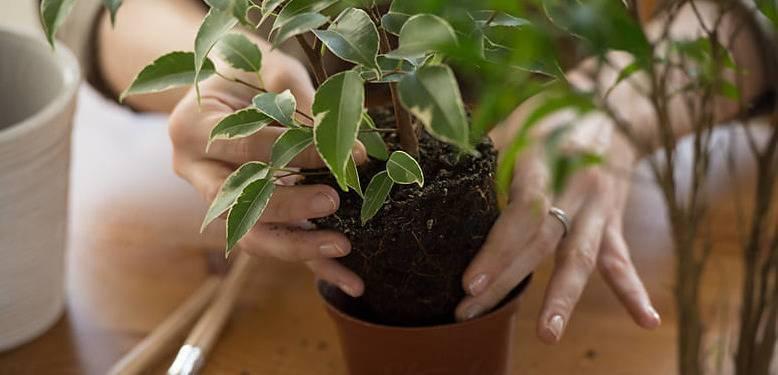 Фикус, уход в домашних условиях и советы по выращиванию