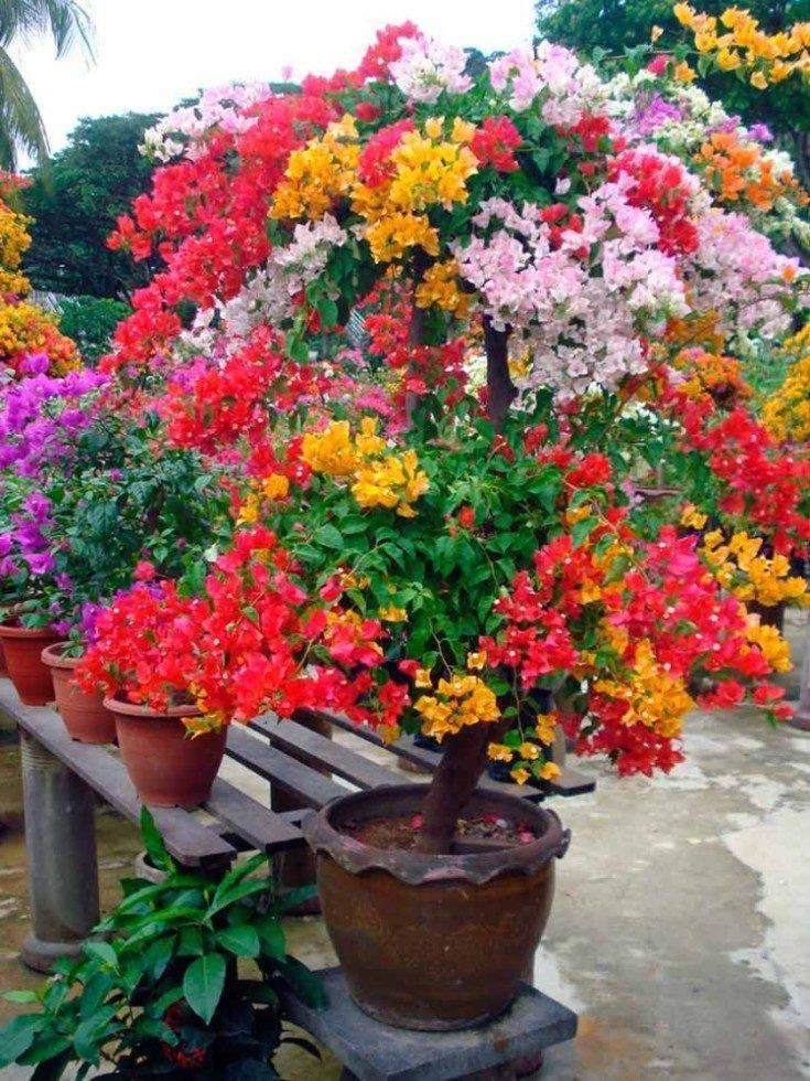 Бугенвиллия — уход в домашних условиях и разнообразие видов