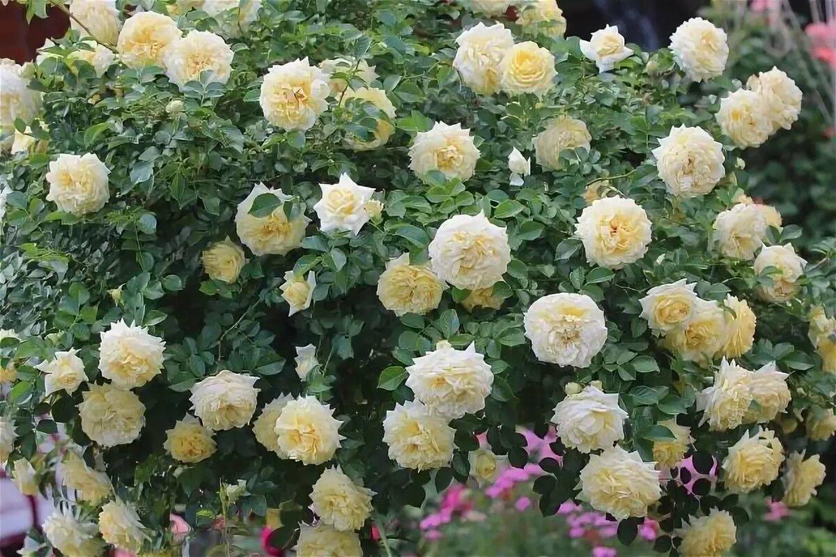 Сорта почвопокровных роз (33 фото): описание сортов «свани» и «супер дороти», «ред вильвет» и «четыре сезона», «бесси» и «сиа фом», «аспирин розе» и «сноу балет»