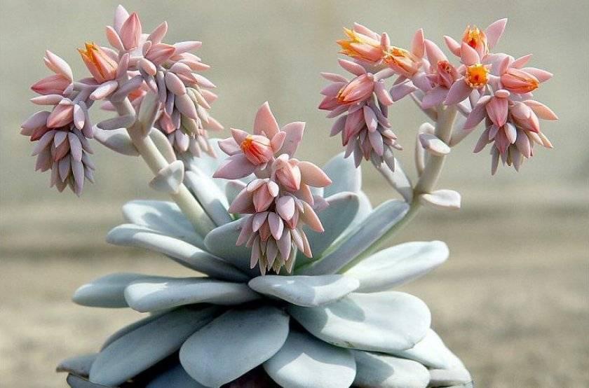 Эхеверия (85 фото): уход за «каменной розой» в домашних условиях, размножение цветка листом. как пересадить и поливать растение?