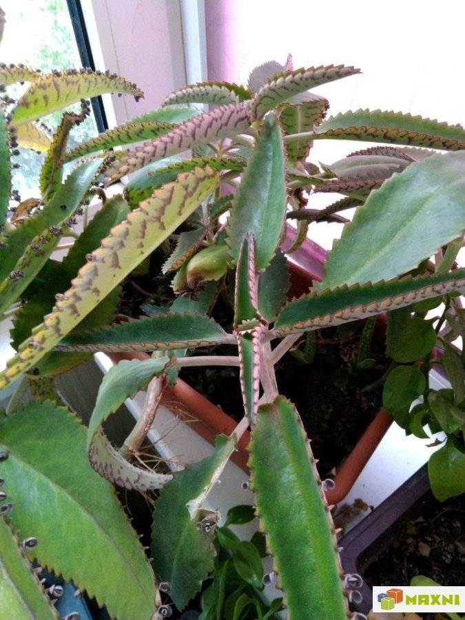 Каланхоэ – уход в домашних условиях за лечебными и цветущими сортами