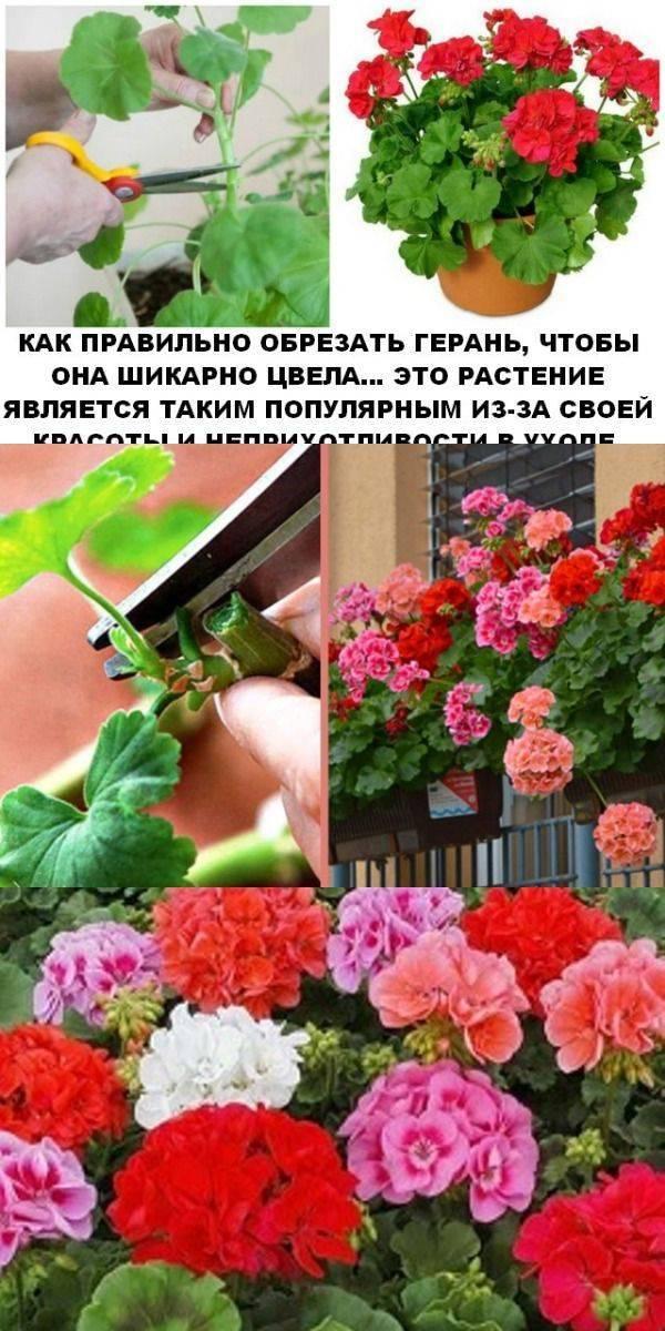 Обрезка герани для пышного цветения весной