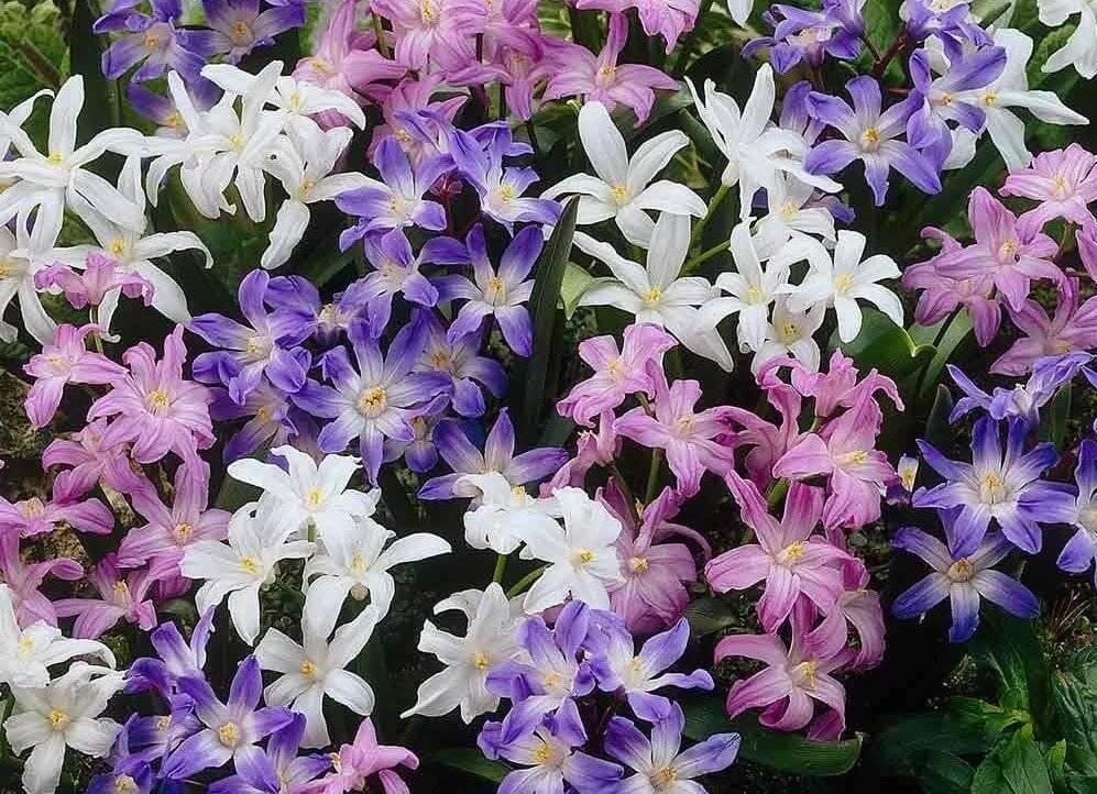 Хионодоксы: фото и описание цветка, посадка, уход и выращивание хионодоксы в открытом грунте
