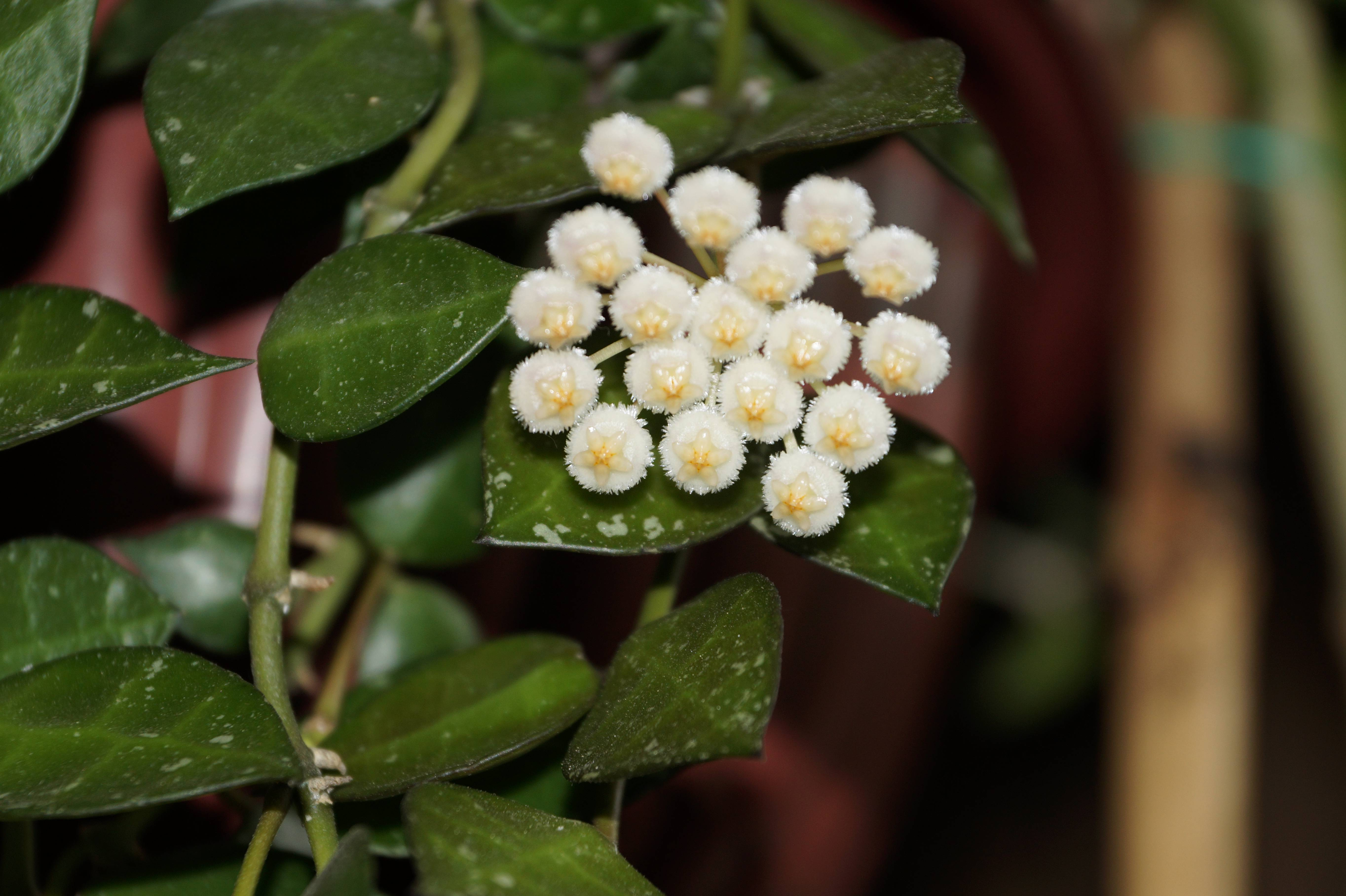 Хойя мультифлора: уход в домашних условия, цветение, фото