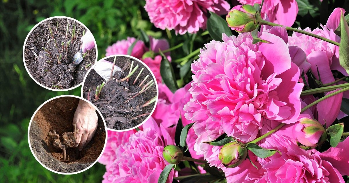 Почему не цветут пионы: 6 самых частых причин