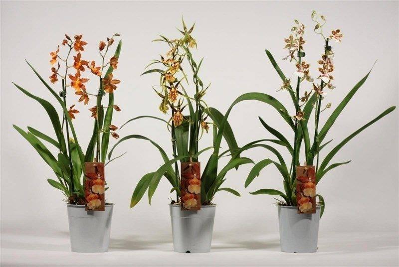 Необычная орхидея камбрия — ее подсорта, особенности ухода в домашних условиях