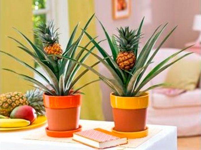 Как растет ананас в природе, выращивание фрукта в домашних условиях. способы посадки, параметры для цветения и плодоношения