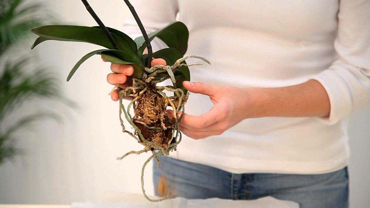 которая пересадка орхидеи пошаговое фото введение формы
