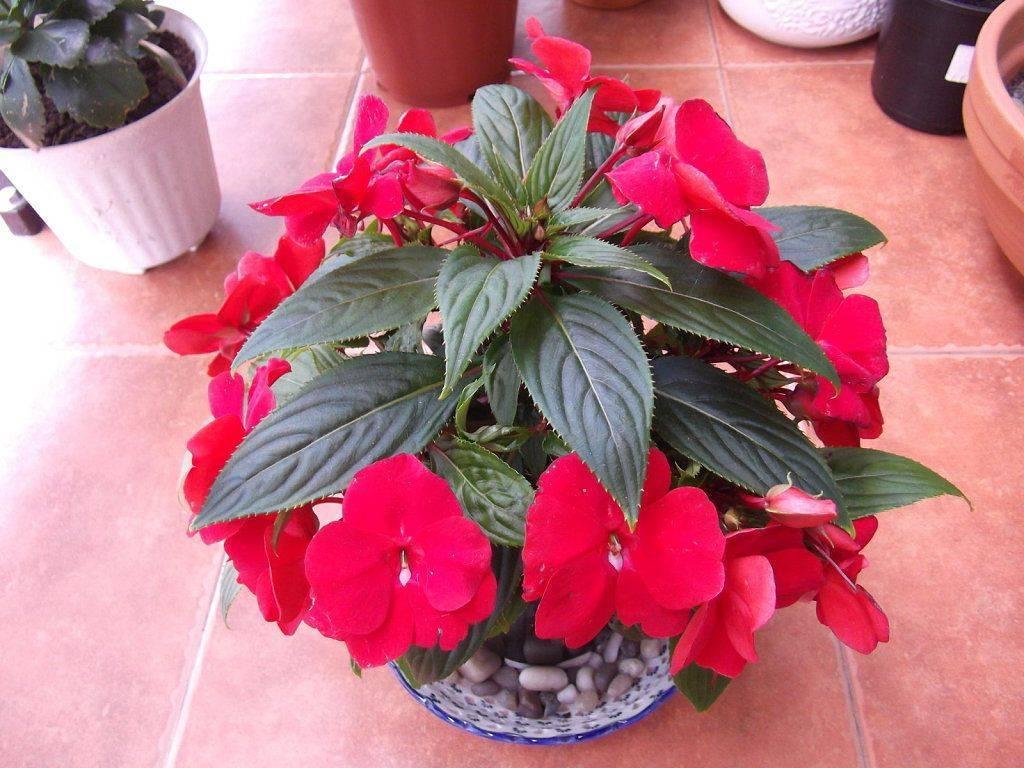 """Бальзамин: фото комнатного цветка, польза и вред, как называют в народе, многолетнее ли это растение, на что похож """"ванька мокрый"""", можно ли держать на балконе?"""