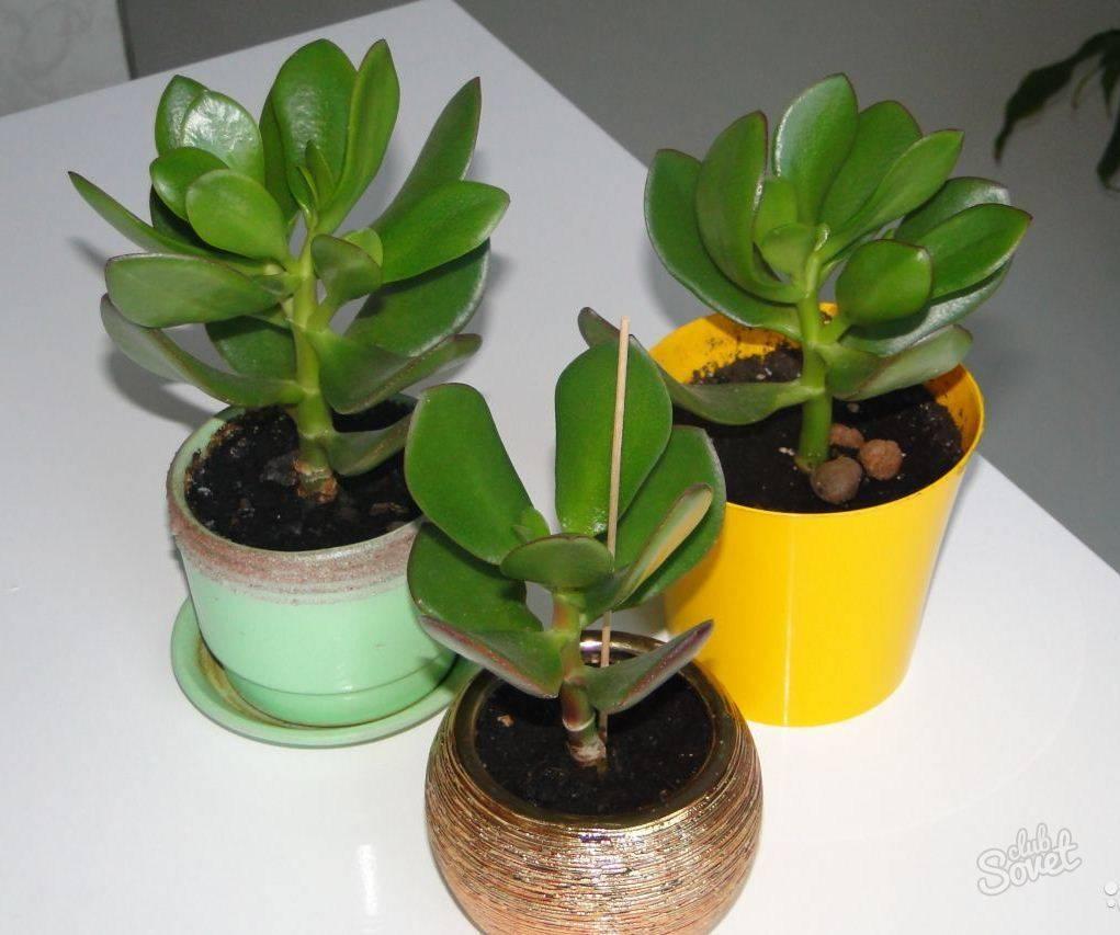 Чем подкормить денежное дерево в домашних условиях, как поливать и смешивать грунт