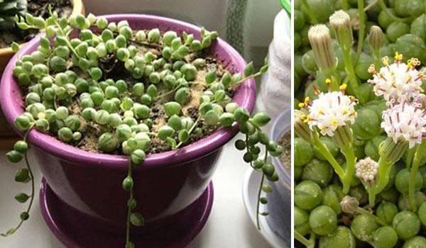 Выращивание и уход за крестовником роули: размножение суккулента, как укоренить