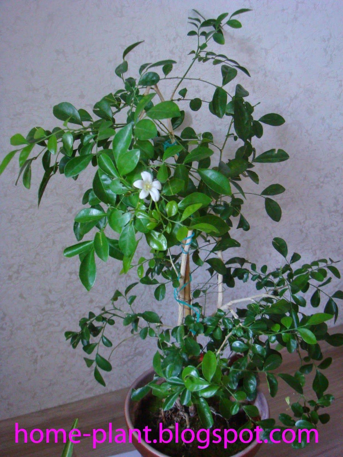 Уход за комнатным растением мурайя метельчатая японская в домашних условиях