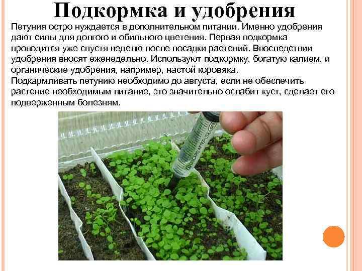 Подкормка петунии для обильного роста и пышного цветения