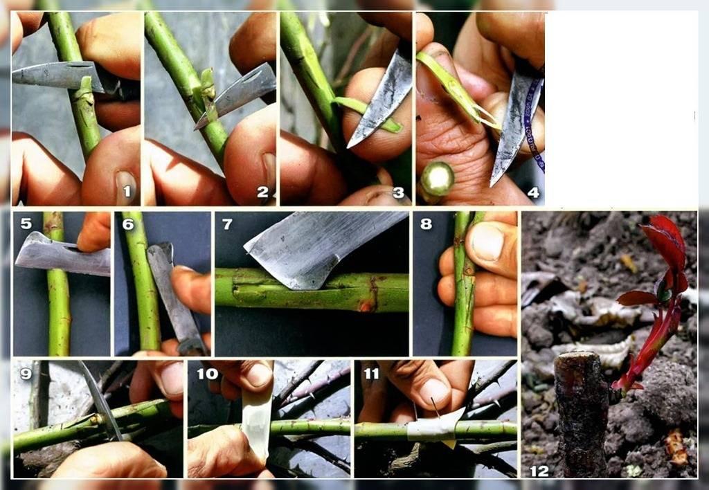 Способы размножения роз: окулировкой, черенкованием и семенами