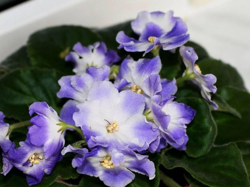 Все о домашнем цветке фуксия: сорта дип перпл, pinto de blue, adalbert bogner...