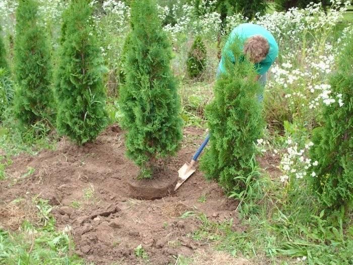 Туя в сибири: подходящие сорта и правила выращивания
