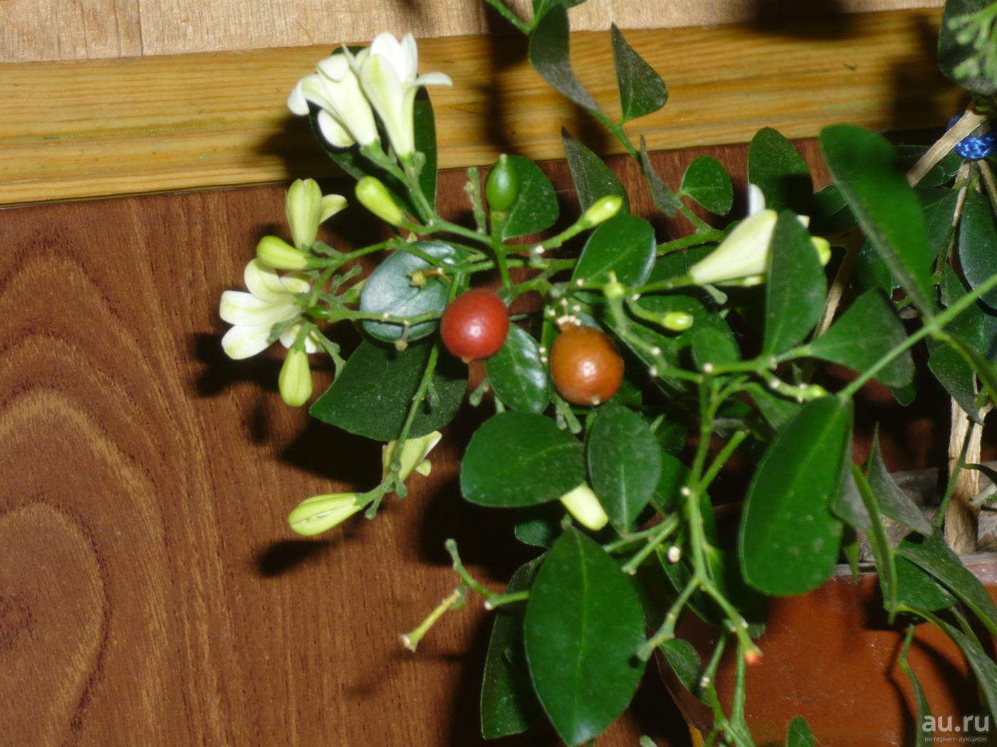 Мурайя метельчатая - из семян, уход в домашних условиях за цветком