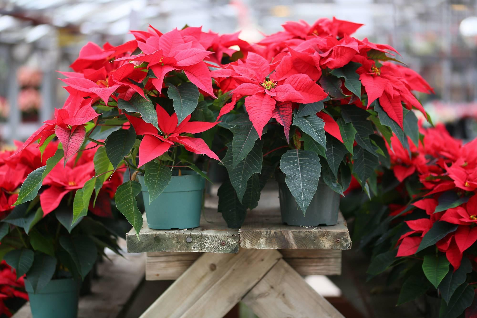Цветок рождественская звезда: как ухаживать дома