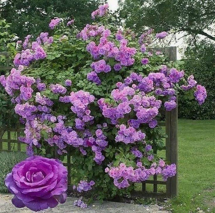 Роза амадеус (amadeus)