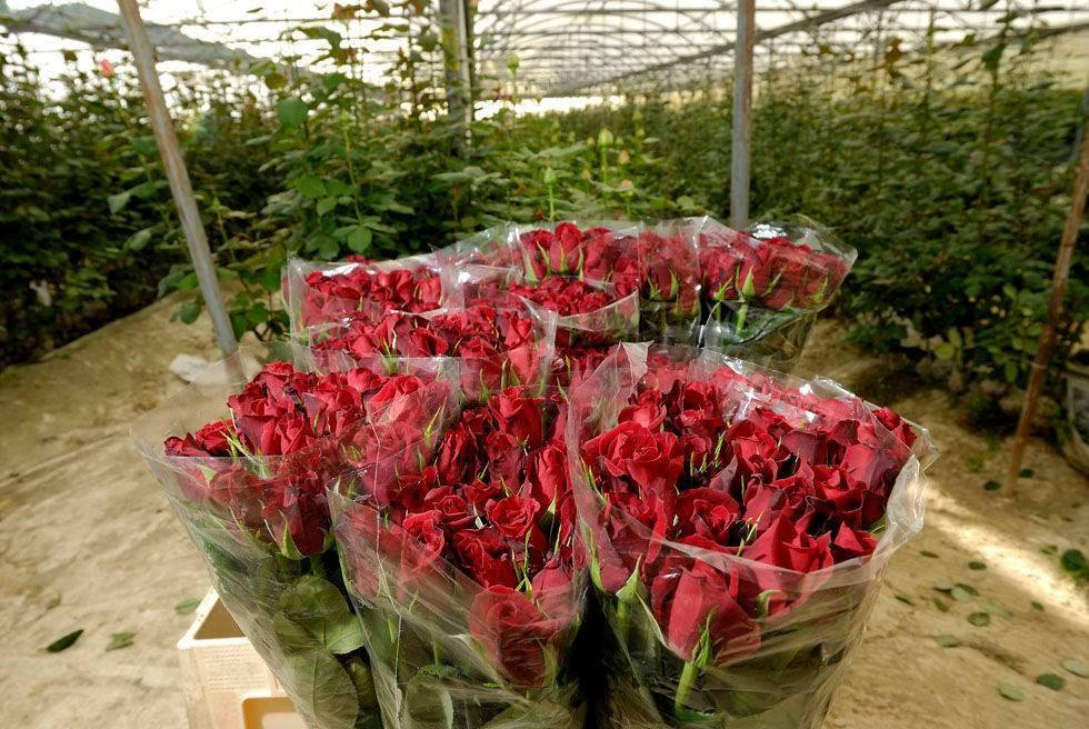 Голландские розы: описание, особенности выращивания