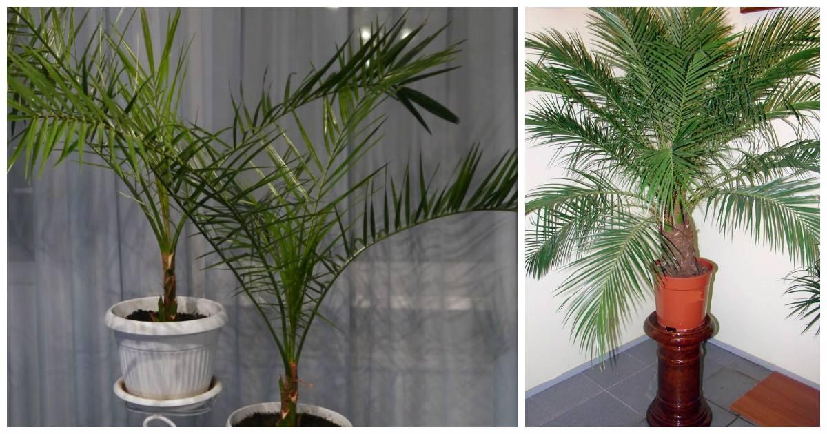 Выращивание финиковой пальмы из косточки в домашних условиях и уход за ней