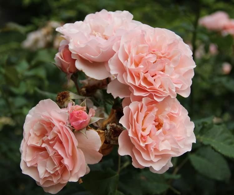 Какие розы не нуждаются в укрытии на зиму – обзор самых зимостойких сортов