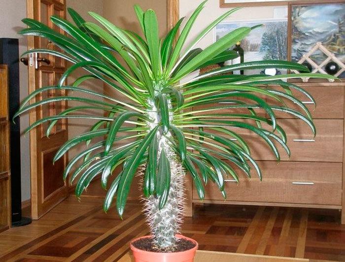 Уход за финиковой пальмой в домашних условиях: как выглядит, пересадка, виды