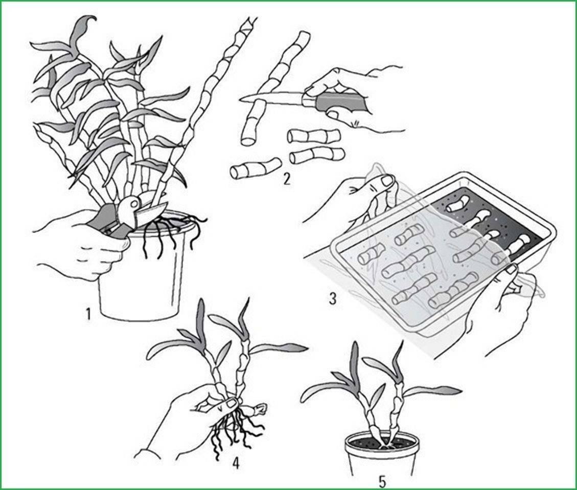 Как размножить орхидею в домашних условиях?