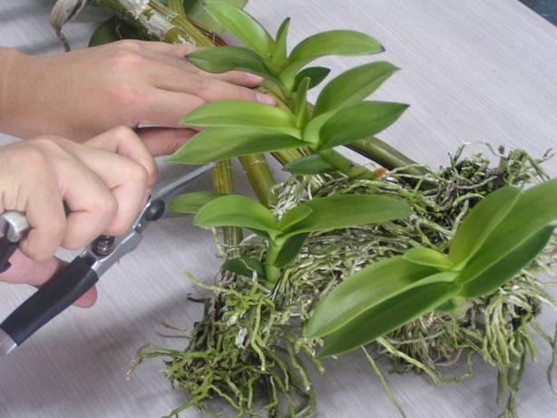 Орхидея дендробиум нобиле: фото, пересадка, размножение и уход в домашних условиях