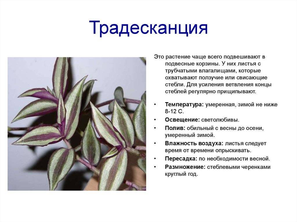 Виды и сорта традесканции (33 фото): описание традесканции зебрина и фиолетовой, ладьевидной и других разновидностей