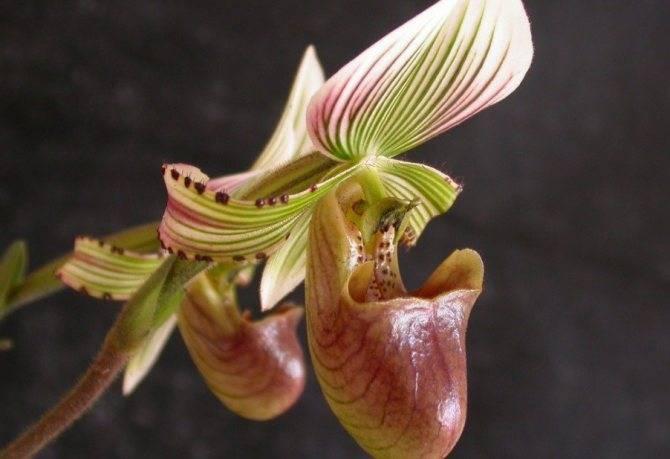 Орхидея венерин башмачок: фото видов, уход за комнатным растением пафиопедилум в домашних условиях