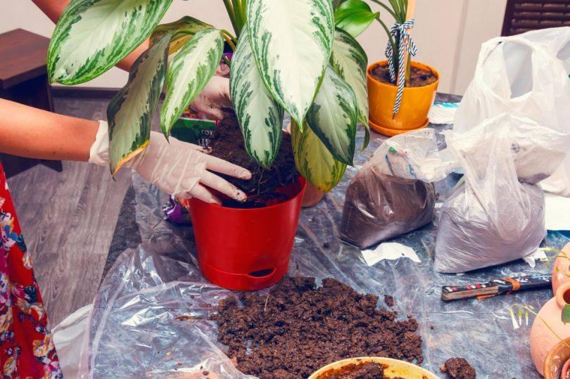 Диффенбахия: виды и правила выращивания
