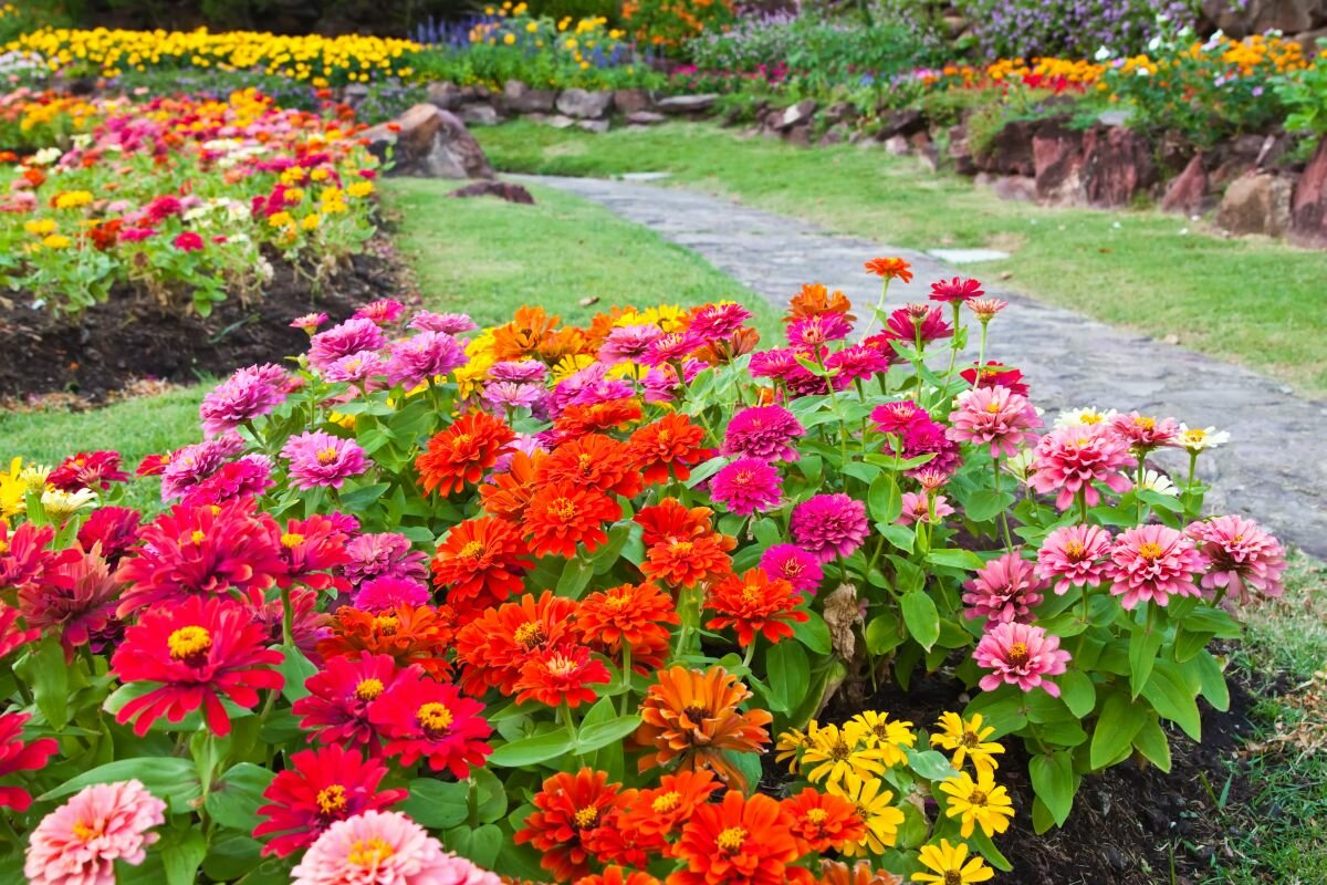 Гербера садовая — как вырастить в саду