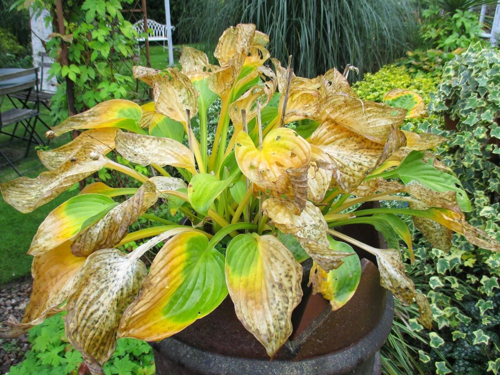 Хоста: описание выращивания, виды и сорта