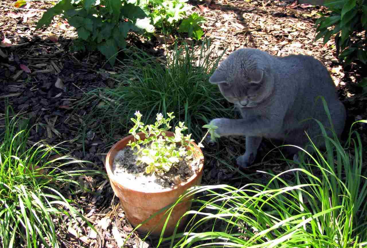 Котовник кошачий (кошачья мята): свойства и применение