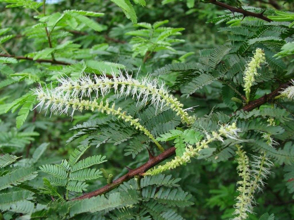 Mimosa hostilis википедия