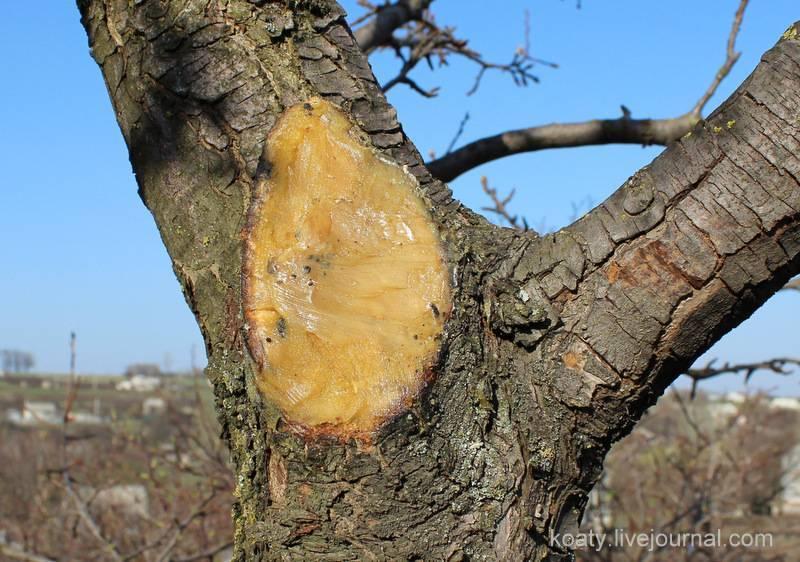 Чем замазать срезы на яблоне кроме садового вара. чем замазать срез на яблоне?