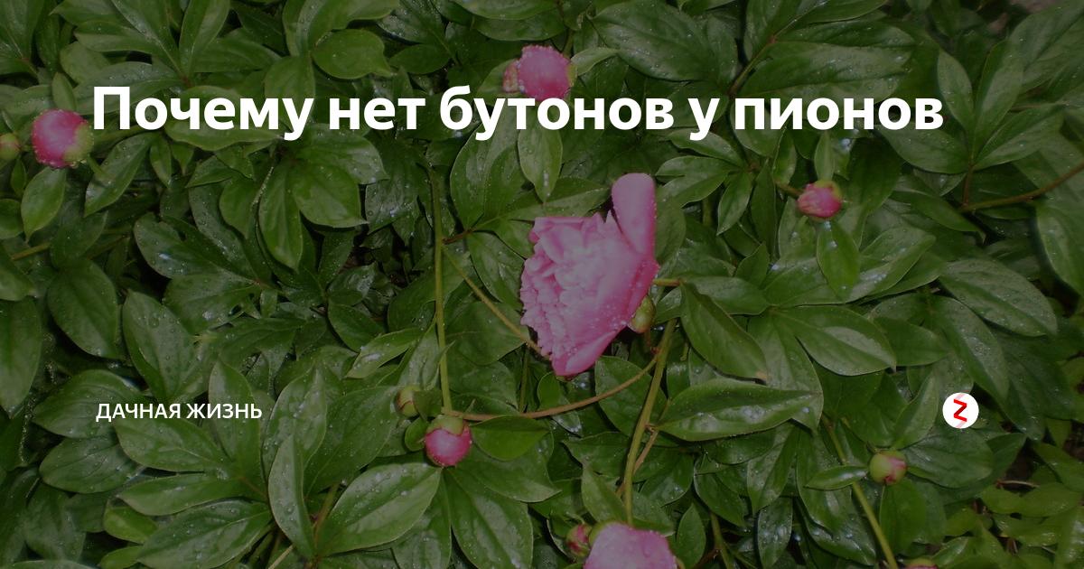 Почему не цветут пионы и как за ними правильно ухаживать?