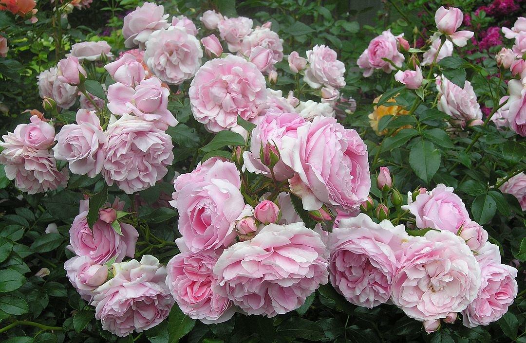 О розе флорибунда: описание и характеристики сортов и разновидностей