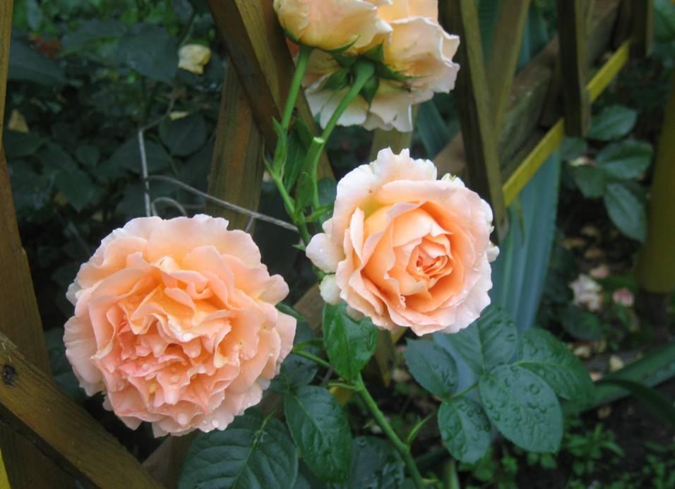 Роза полька: фото и описание, уход, отзывы, видео