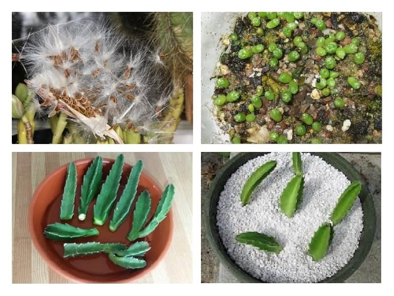 Стапелия различных видов - особенности посадки и ухода в домашних условиях + фото