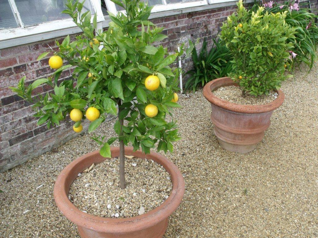 Как вырастить лимон из косточки в домашних условиях с плодами — правила + фото