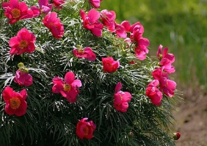 Пион уклоняющийся или марьин корень: особенности выращивания