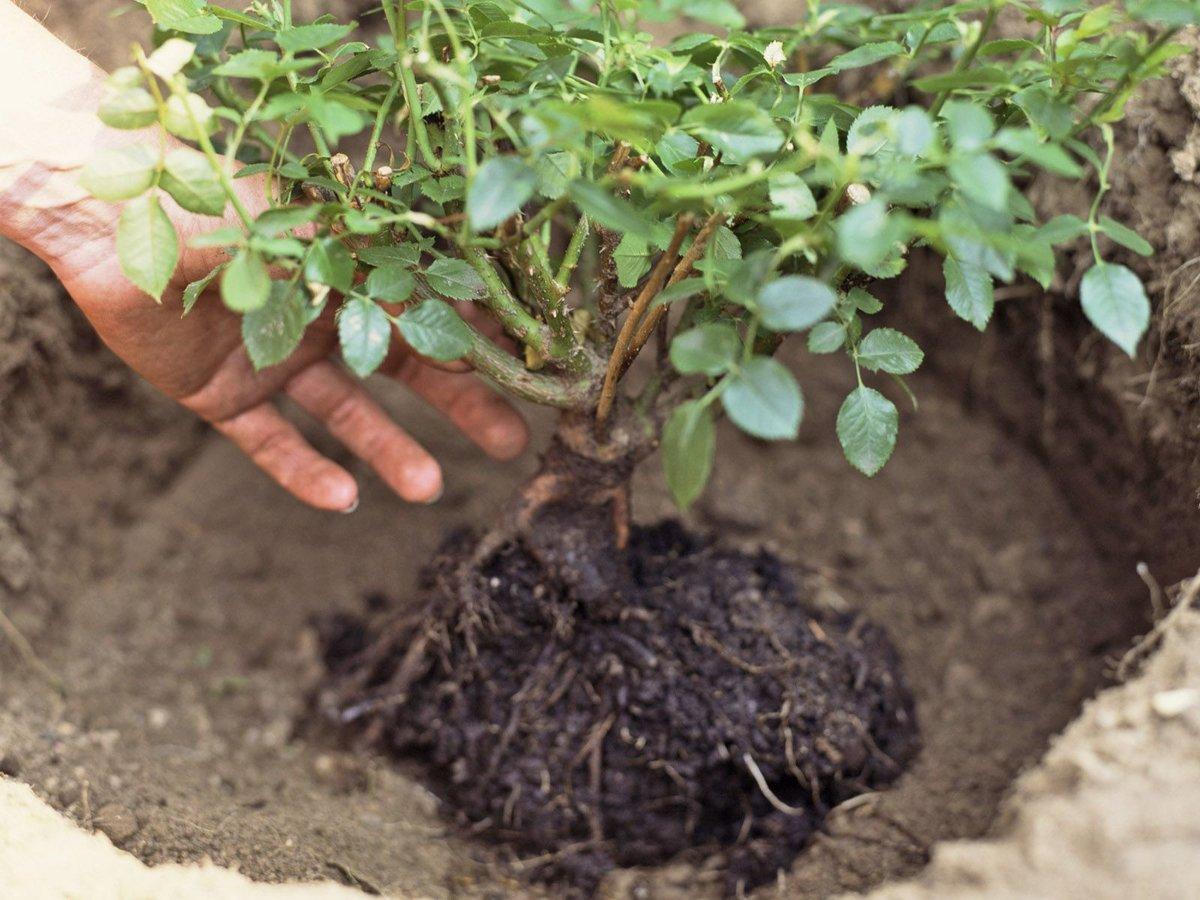 Очиток: выращивание из семян, фото, посадка и уход в открытом грунте