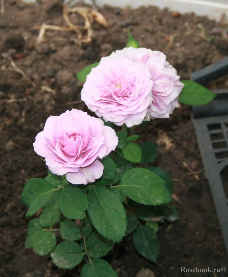 Роза лариса (larissa) — что это за вид флорибунды