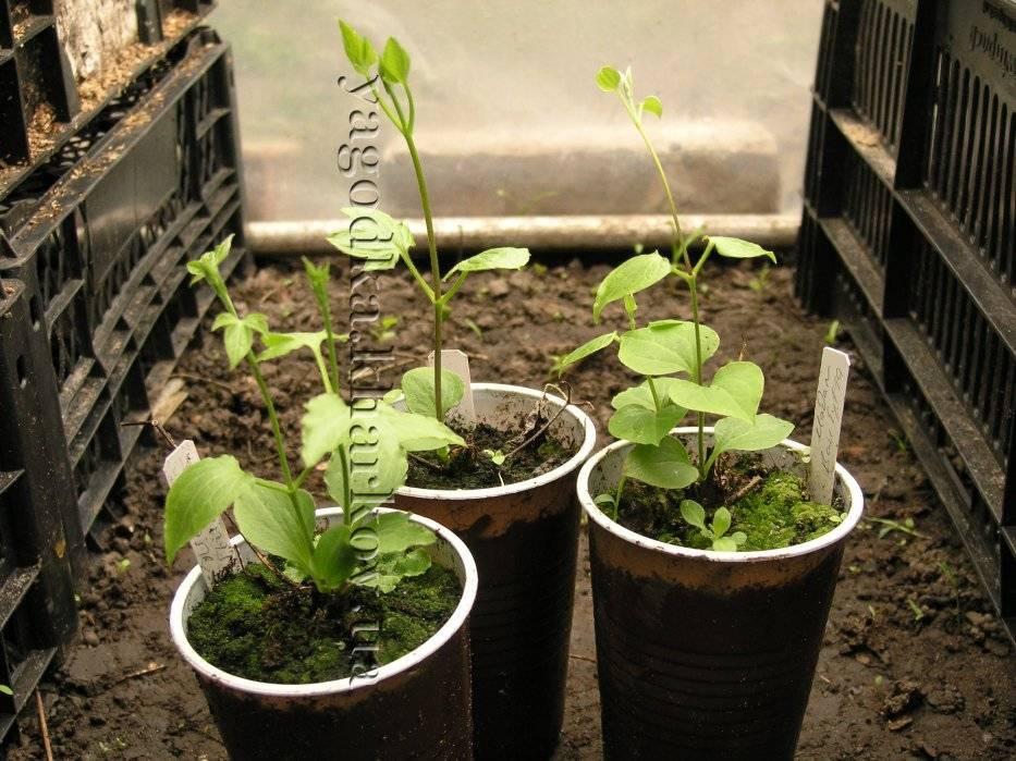 Как вырастить клематис из семян?