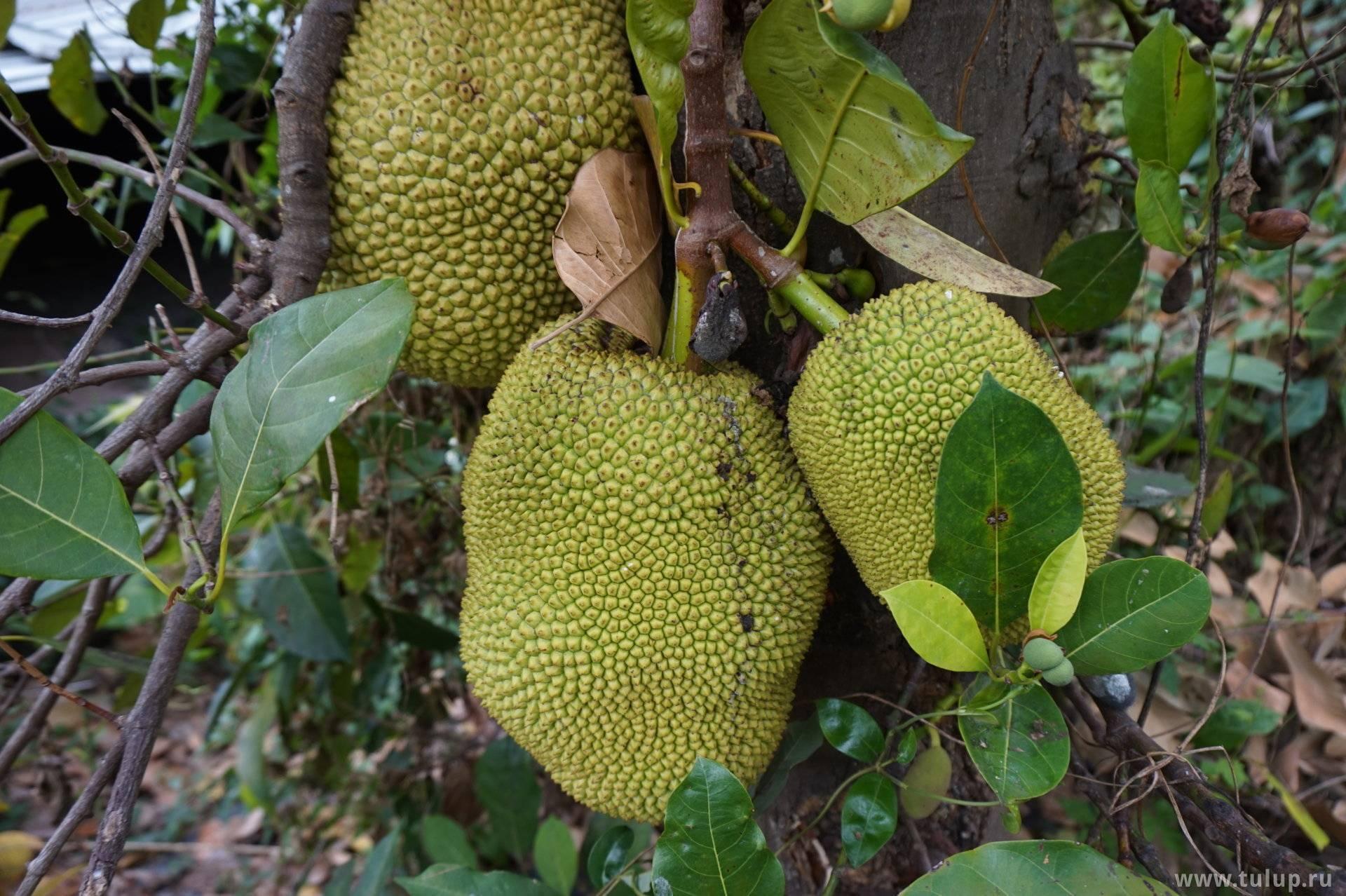 Что такое хлебное дерево, и описание вкуса плодов хлебного дерева
