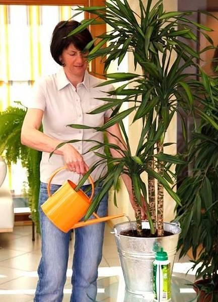 Драцена уход в домашних условиях: полив, размножение, обрезка