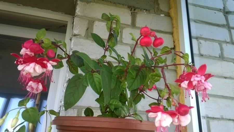 Фуксия выращивание и уход в саду, в открытом грунте
