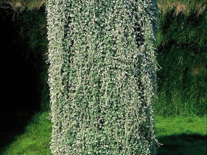 Ампельная дихондра: посадка и уход в открытом грунте, фото, выращивание из семян